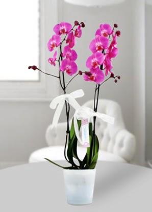 Çift dallı mor orkide  Bursa çiçek yolla çiçek , çiçekçi , çiçekçilik