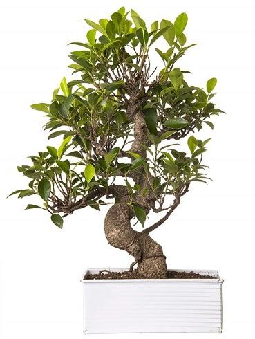Exotic Green S Gövde 6 Year Ficus Bonsai  Bursa cicekci bursaya çiçek yolla