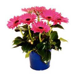 vazo içerisinde gerbera çiçekleri   Bursa çiçek yolla