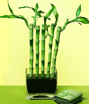 Bursa çiçek ucuz çiçek gönder  Good Harmony Lucky Bamboo camda
