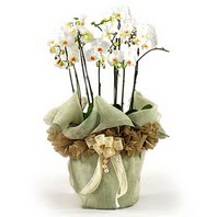Bursa çiçekçisi hediye çiçek yolla  3 dal orkide , saksi çiçegi , 3 kök orkide