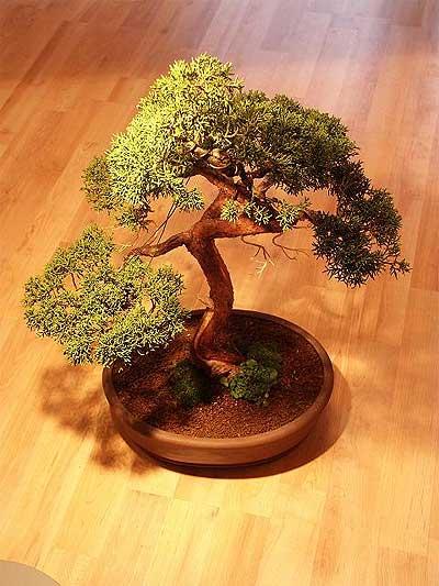 ithal bonsai saksi çiçegi  çiçek siparişi bursa