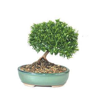 ithal bonsai saksi çiçegi  Bursa çiçek gönder