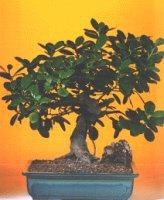 Bursaya çiçek yolla  ithal bonsai saksi çiçegi  Bursa çiçek çiçekçi