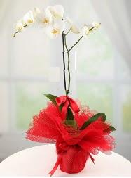 1 dal beyaz orkide saksı çiçeği  Bursa çiçek satışı