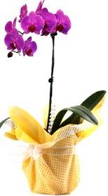 Bursa çiçekçisi hediye çiçek yolla  Tek dal mor orkide saksı çiçeği
