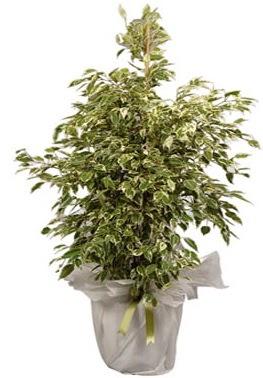 Orta boy alaca benjamin bitkisi  Bursadaki çiçekçiler