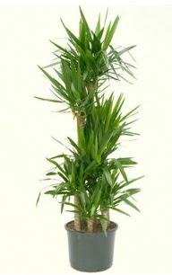 7 li yucca saksı bitkisi  Bursa online çiçek siparişi