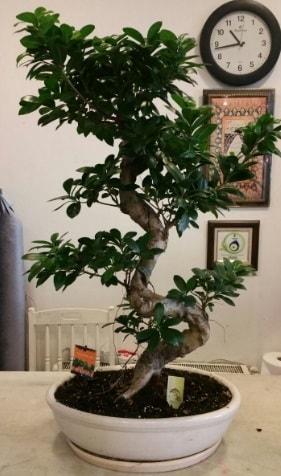 100 cm yüksekliğinde dev bonsai japon ağacı  Bursa çiçek çiçekçi