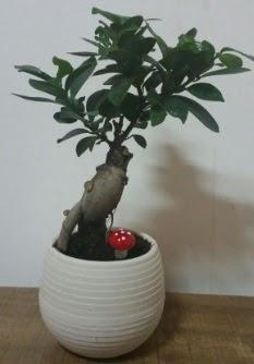 Bonsai japon ağacı saksı çiçeği  Bursa cicekci bursaya çiçek yolla