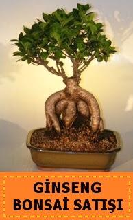 Ginseng bonsai satışı japon ağacı  Bursa online çiçekçi