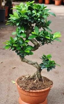 Orta boy bonsai saksı bitkisi  Bursa çiçek çiçekçi