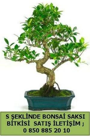 İthal S şeklinde dal eğriliği bonsai satışı  online bursa çiçek siparişi
