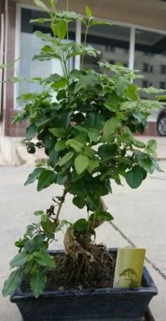 Bonsai japon ağacı saksı bitkisi  Bursa çiçek siparişi