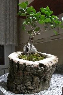Ahşap kütük içerisinde ginseng bonsai  Bursa çiçek çiçekçi