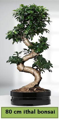 80 cm özel saksıda bonsai bitkisi  Bursaya çiçek yolla