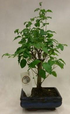 Minyatür bonsai japon ağacı satışı  Bursaya çiçek yolla