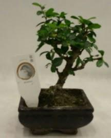 Küçük minyatür bonsai japon ağacı  online bursa çiçek siparişi