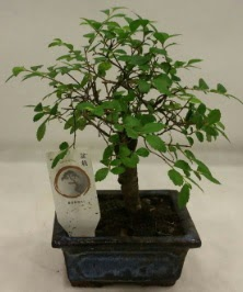 Minyatür ithal japon ağacı bonsai bitkisi  bursa çiçekçiler çiçek satışı