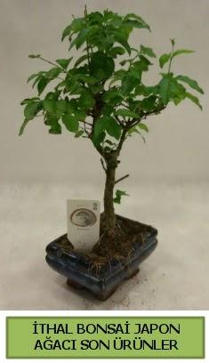 İthal bonsai japon ağacı bitkisi  Bursadaki çiçekçiler