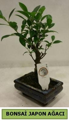 Bonsai japon ağacı saksı bitkisi  Bursa online çiçek siparişi