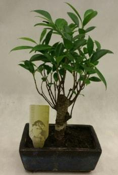 Japon ağacı bonsai bitkisi satışı  Bursaya çiçek yolla