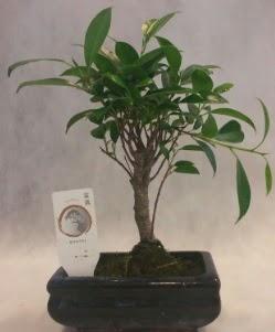 Bonsai japon ağacı bitkisi satışı  Bursa cicekci bursaya çiçek yolla