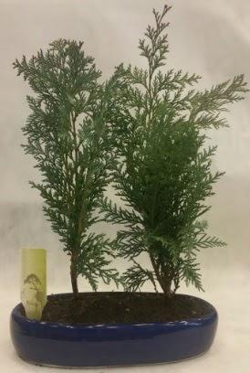 SINIRLI SAYIDA Selvi Ağacı bonsai ikili  Bursaya çiçek yolla