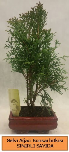 Selvi ağacı bonsai japon ağacı bitkisi  bursa çiçekçiler çiçek satışı