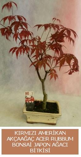 Amerikan akçaağaç Acer Rubrum bonsai  Bursa çiçek yollama çiçek satışı