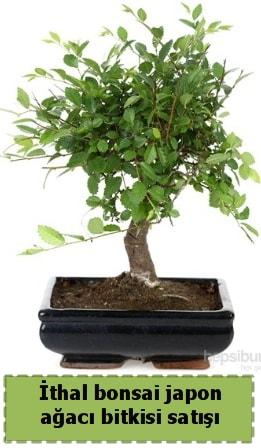 İthal bonsai saksı çiçeği Japon ağacı satışı  Bursa çiçek çiçekçi