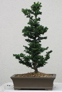 Çam ağacı bonsai bitkisi satışı  Bursaya çiçek yolla