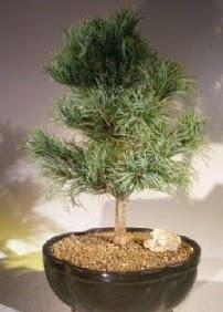 Çam ağacı bonsai bitkisi satışı  Bursadaki çiçekçi firmaları