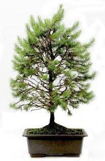 *** STOKTA YOK - Çam ağacı bonsai bitkisi satışı  Bursa çiçek gönder