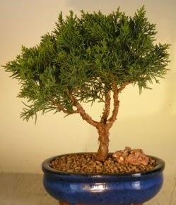 Servi çam bonsai japon ağacı bitkisi  çiçek yolla bursa