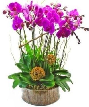 Ahşap kütükte lila mor orkide 8 li  Bursadaki çiçekçiler