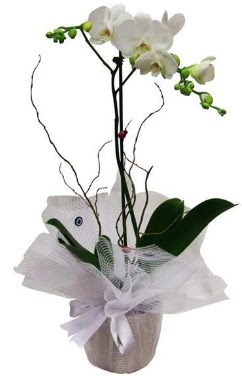 Tek dallı beyaz orkide  Bursa online çiçekçi