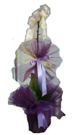 Tek dallı beyaz orkide süper kalite ithal  Bursa çiçekçisi hediye çiçek yolla
