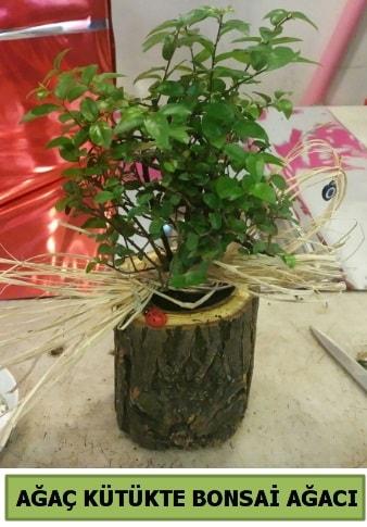 Doğal ağaç kütük içerisinde bonsai ağacı  Bursa cicekci bursaya çiçek yolla