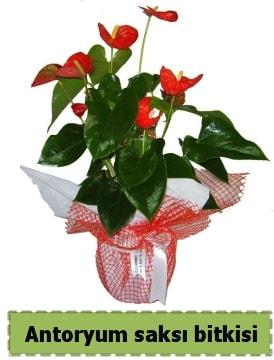 Antoryum saksı bitkisi satışı  Bursa çiçek gönderimi