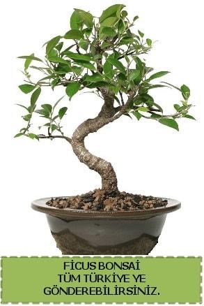 Ficus bonsai  Bursa cicekci bursaya çiçek yolla
