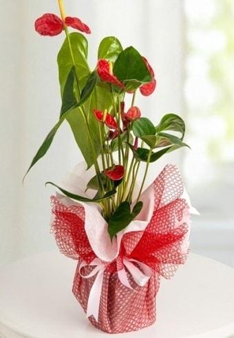 Anthurium Saksı Çiçeği  Çiçekçi Bursa