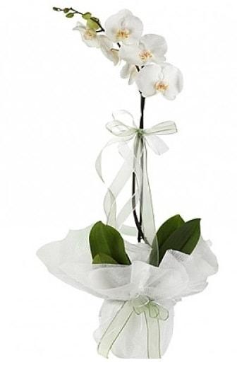 Tekli Beyaz Orkide  Çiçekçi Bursa