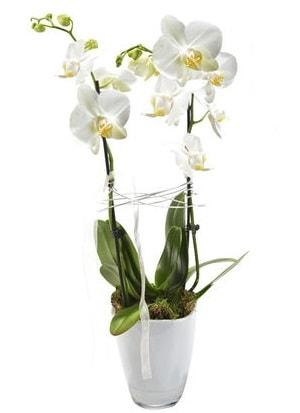 2 dallı beyaz seramik beyaz orkide saksısı  Bursa cicekci bursaya çiçek yolla