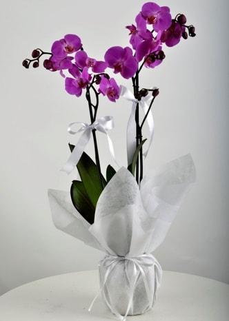 Çift dallı saksıda mor orkide çiçeği  Bursa çiçek siparişi