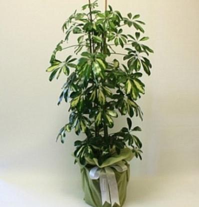 Şeflera salon bitkisi  online bursa çiçek siparişi