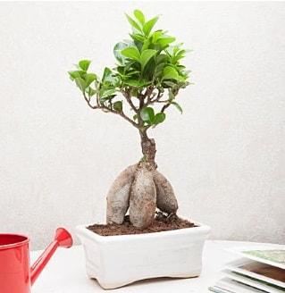 Exotic Ficus Bonsai ginseng  Bursa online çiçek siparişi