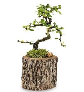 Doğal kütükte S bonsai ağacı  bursa çiçekçiler çiçek satışı
