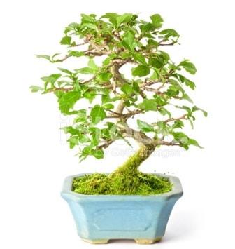 S zerkova bonsai kısa süreliğine  Bursa çiçek çiçekçi