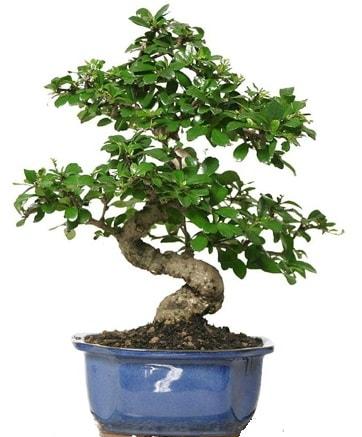 21 ile 25 cm arası özel S bonsai japon ağacı  Bursaya çiçek yolla